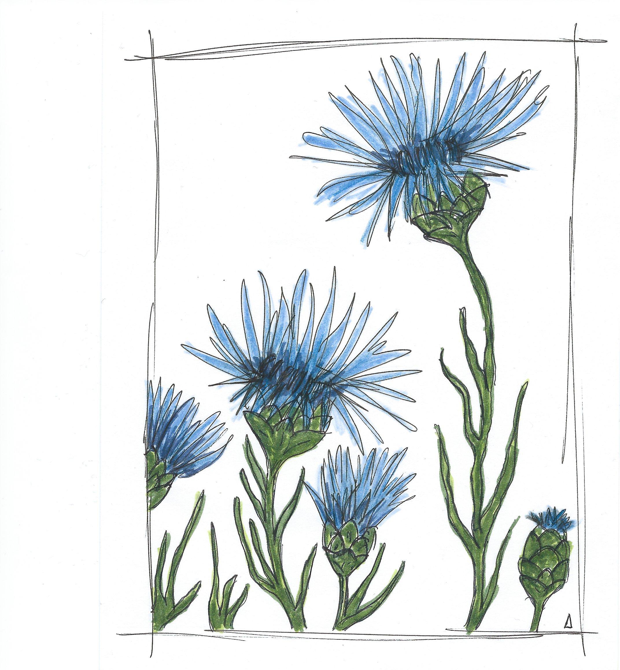 Dessin de bleuets - Anna Aubourg